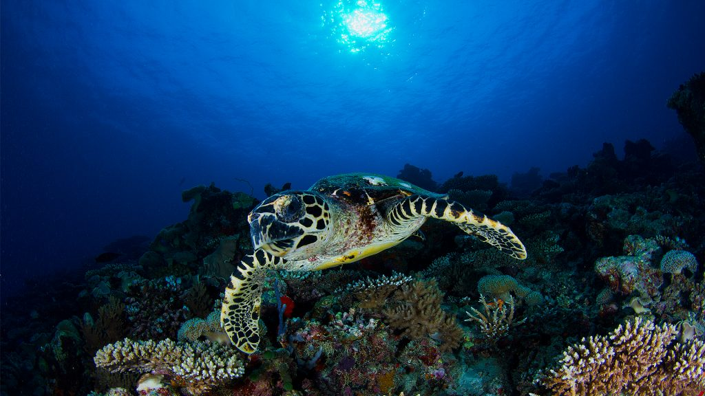 Turtle diving (2)