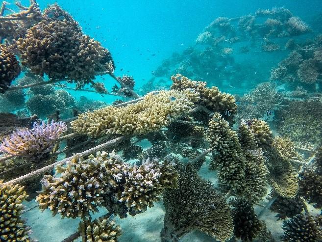 sheraton coral