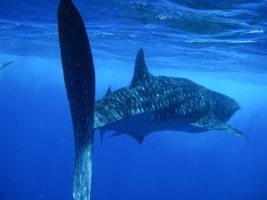 whale sharks 2010 (2)